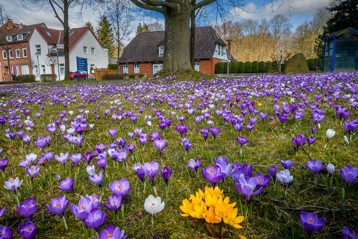 . Krokusse am 22.03.2021 in Bordesholm, Heintzestrasse-Eiderstedter Str., , Photo: Michael Slogsnat, Bordesholm.